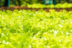 Planting non-toxic Organic vegetables Salad Dressings beautiful. Green leafy are grown in the garden with a natural way of safe royalty free stock images
