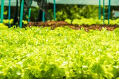 Planting non-toxic Organic vegetables Salad Dressings beautiful. Green leafy are grown in the garden with a natural way of safe stock photo