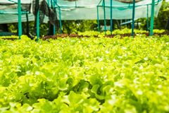 Planting non-toxic Organic vegetables Salad Dressings beautiful. Green leafy are grown in the garden with a natural way of safe royalty free stock photography