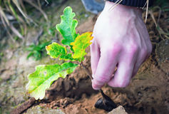 Planting Oak Seedling. Into the ground closeup. Unrecognizable human hand Stock Photos