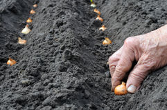 Planting the onion Stock Photos