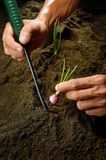 Planting Onion Stock Photography
