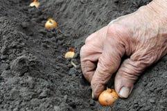 Planting onion Stock Photo