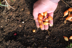 Planting onion sets into the ground. Royalty Free Stock Photo