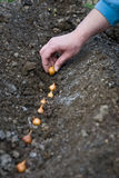 Planting onions Stock Image