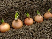 Planting onions Stock Photo