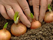 Planting onions Royalty Free Stock Image