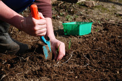 Planting onions Stock Photography
