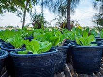 Planting Organic Vegetables In Planting Pots Royalty Free Stock Image