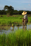 Planting on the paddy rice farmland Stock Photography