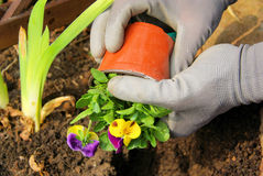 Planting pansy. In spring, in garden, planting a pansy royalty free stock photography