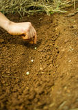 Planting Pea Seeds Royalty Free Stock Image