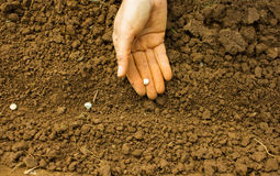 Planting Pea Seeds Royalty Free Stock Photo