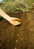 Planting Pea Seeds Royalty Free Stock Photography