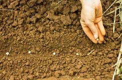 Planting Pea Seeds Stock Photo