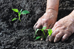 Planting a pepper seedling Royalty Free Stock Images