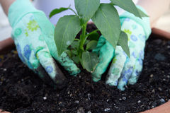 Planting pepper seedling. Close up of gardener's gloved hands planting a pepper seedling in the garden clay container Royalty Free Stock Photos