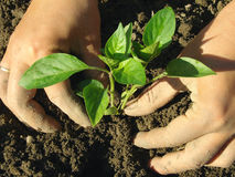 Planting pepper seedlings Stock Image