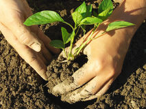 Planting pepper seedlings Royalty Free Stock Image