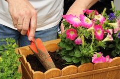 Planting petunias Stock Photography