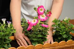 Planting petunias Royalty Free Stock Images