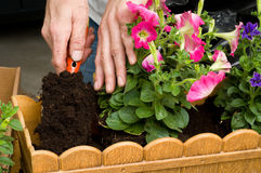 Planting petunias. Petunia is a trumpet shaped, widely-cultivated genus of flowering plants of South American origin, in the family Solanaceae Royalty Free Stock Photography