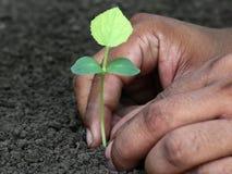 Planting phalsa seedling Stock Images