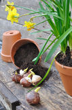 Planting plant bulbs Royalty Free Stock Image