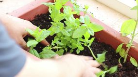 Planting a plant in the ground stock video footage