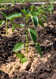Planting plants in the garden.  royalty free stock images