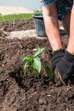 Planting plants in the garden.  royalty free stock photography