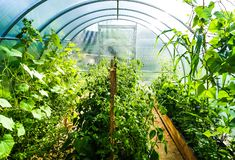 Planting in a poly carbonate greenhouse. stock images