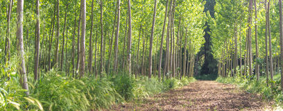 Planting poplar. Artificial planting poplar, dirt road Royalty Free Stock Photo