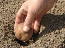 Planting potato Stock Photography