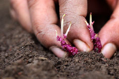 Planting potato seedling Royalty Free Stock Image