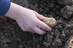 Planting potato tubers into soil Royalty Free Stock Images