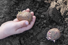 Planting potato tubers into soil Royalty Free Stock Photos