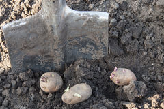 Planting potato tubers into soil Stock Photos