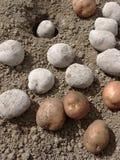 Planting Potatoes Royalty Free Stock Photos