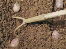 Planting potatoes stock photo