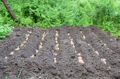 Planting potatoes. Planting of old tubers of potatoes in the allotted plot of the garden Royalty Free Stock Images