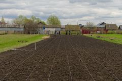 Planting of potatoes. On a rustic field Royalty Free Stock Images
