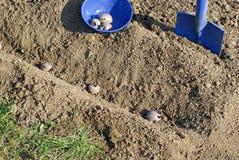 Planting potatoes Stock Photography
