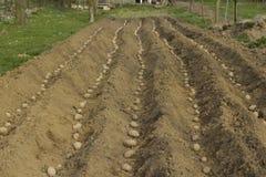 Planting potatoes. Royalty Free Stock Photo