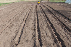 Planting potatoes on vegetable garden Royalty Free Stock Images
