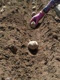 Planting Potatos Stock Photography