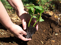Planting pumpkin Royalty Free Stock Photo