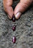 Planting Rajma dal Royalty Free Stock Images