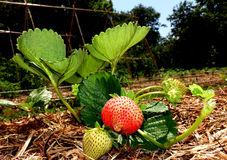 Planting red and green strawberry and its leaves in a vegetable garden stock image