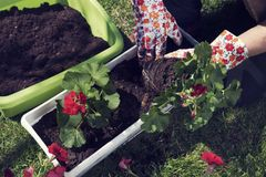 Planting red pelargonium in spring. Planting red pelargonium in April. Springtime. Horticulture. Hobby and leisure royalty free stock images